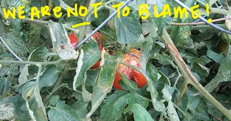 """Photo that claims """"we are not to blame"""" of rotting, withered on the vine tomatoes."""